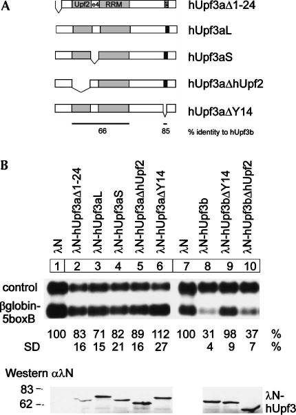 hUpf3a elicits NMD less efficiently than hUpf3b. ( A