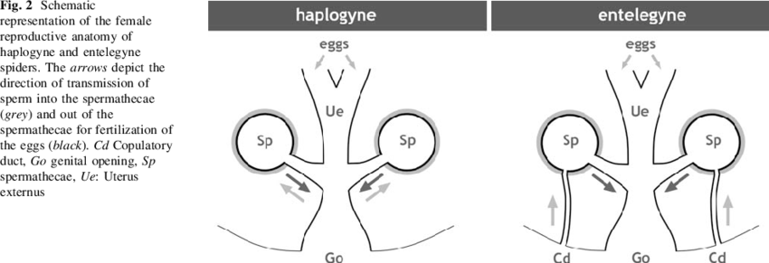 Schematic representation of the female reproductive