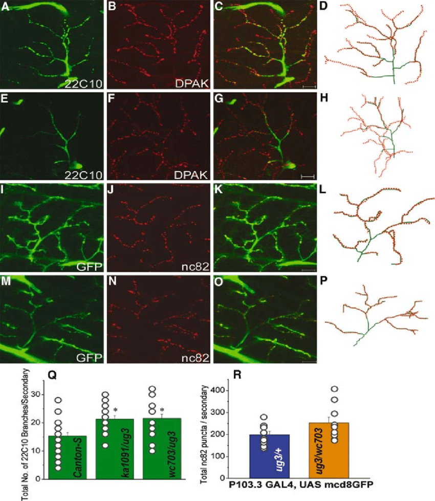 hight resolution of threedimensional projections of individual arbors on adult dlms labeled with marker antibodies against the neuronal cytoskeleton and pre and post synaptic