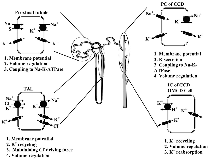 A model of a single nephron showing the function of renal