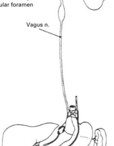 Scheme of distribution the vagus nerve also pdf acupuncture for treatment obesity  review evidence rh researchgate