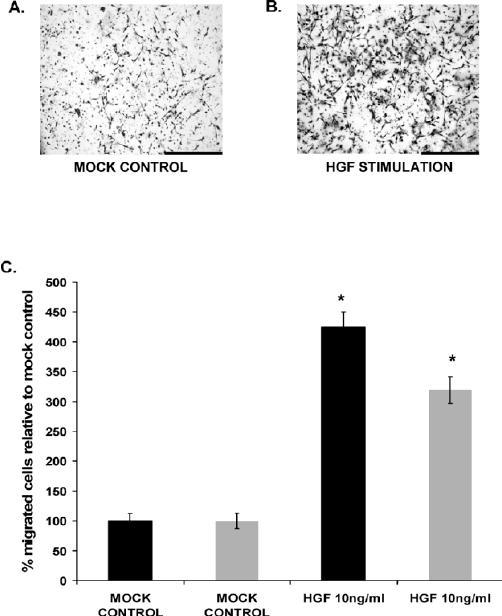 Effect of HGF stimulation on trophoblast migration