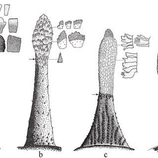 Four types of second dorsal fin shape in males of