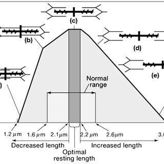 (PDF) Neuromuscular Function Following Lengthening