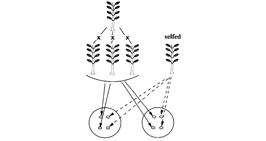 Experimental design as described by Darwin. Four seeds