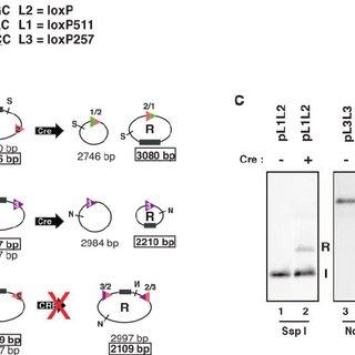 (PDF) Reproducible doxycycline-inducible transgene