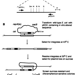 Gene replacement vector and protocol. (A) The pKO3 vector