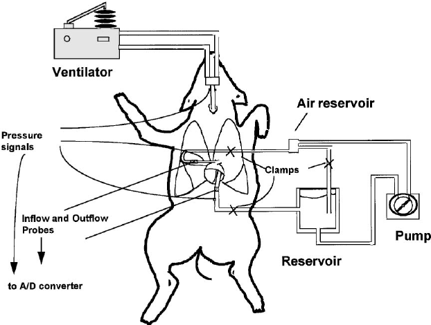 Experimental setup for constant flow perfusion of pig