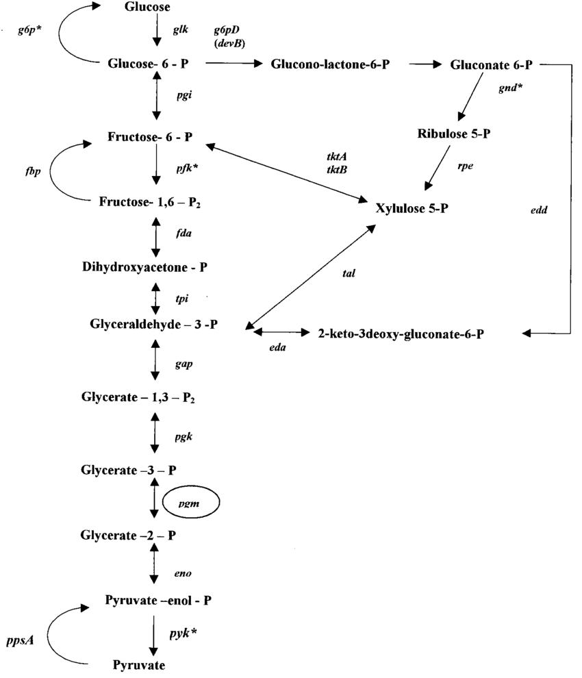 hight resolution of glycolysis gluconeogenesis pentose phosphate and entner doudoroff download scientific diagram