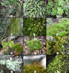 some mosses in mt kalatungan range natural park a pogonatum macrophyllum dozy  [ 850 x 932 Pixel ]