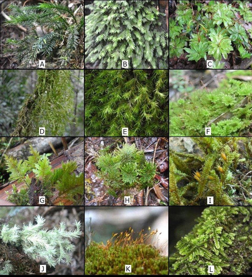 hight resolution of some mosses in mt kalatungan range natural park a pogonatum macrophyllum dozy