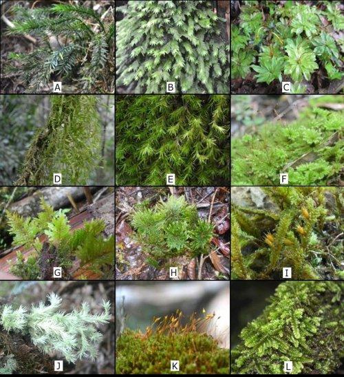 small resolution of some mosses in mt kalatungan range natural park a pogonatum macrophyllum dozy