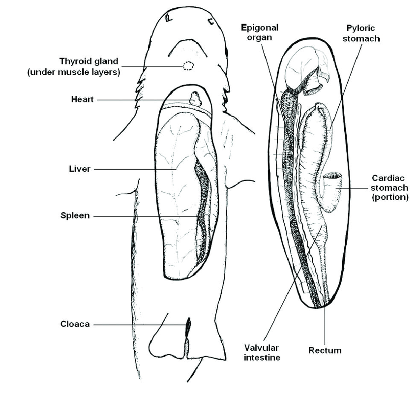 1. Basic internal anatomy of the blacktip reef shark