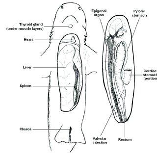(PDF) Necropsy Methods and Procedures for Elasmobranchs