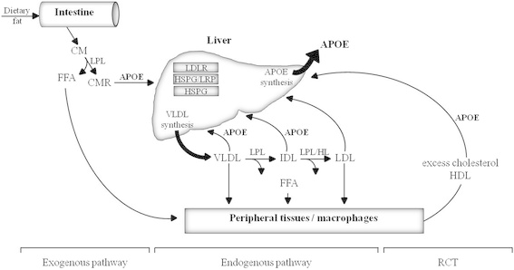 Overview on the role of apolipoprotein E (APOE) in the