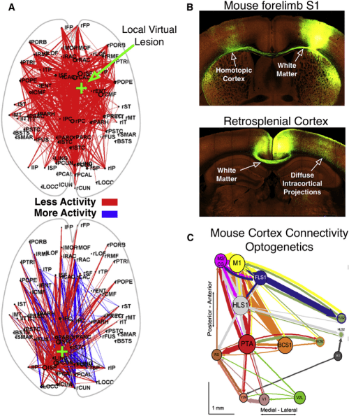 small resolution of graph analysis of human brain connectivity during simulated stroke and mouse brain structural functional connectivity