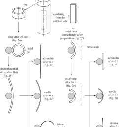 schematic of the procedure for specimen preparation showing ring and axial strip specimens from the aorta after 30 min of equilibration and immediately  [ 850 x 1058 Pixel ]