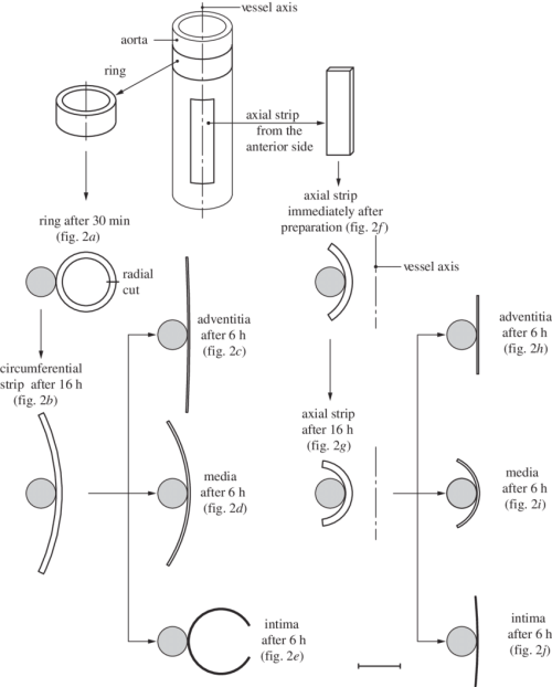 small resolution of schematic of the procedure for specimen preparation showing ring and axial strip specimens from the aorta after 30 min of equilibration and immediately