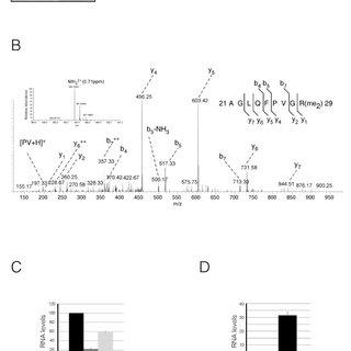 H2A is methylated by protein arginine methyltransferase
