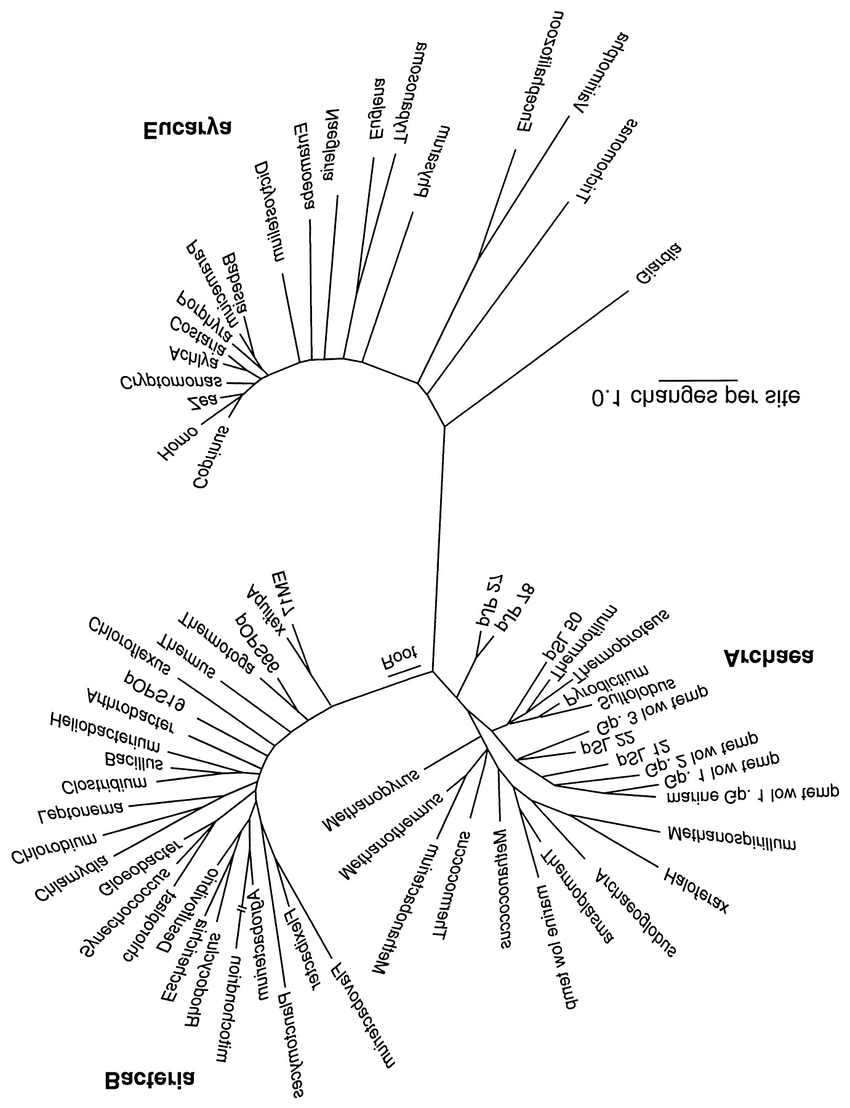Universal phylogenetic tree based on comparison of SSU