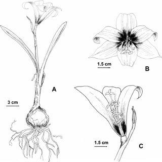(PDF) A New Species, Habranthus sanavirone (Amaryllidaceae