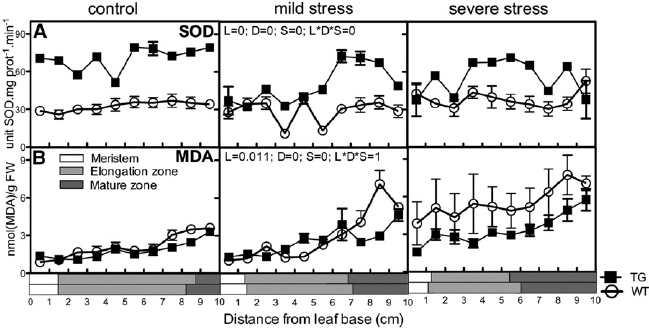 SOD activity and MDA levels in the leaf growth zone of the