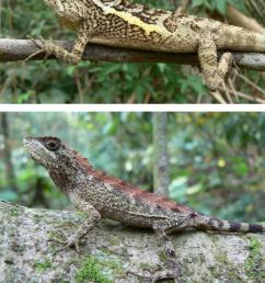 the swinhoe s tree lizard japalura swinhonis is a common endemic download scientific diagram [ 839 x 1094 Pixel ]