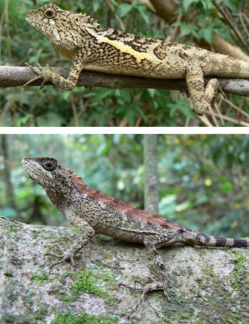 small resolution of the swinhoe s tree lizard japalura swinhonis is a common endemic download scientific diagram