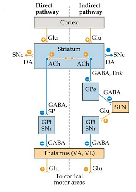 medium resolution of circuit diagram for direct indirect pathways neurotransmitters ach acetylcholine da dopamine glu glutamate enk enkaphalin sp substance p