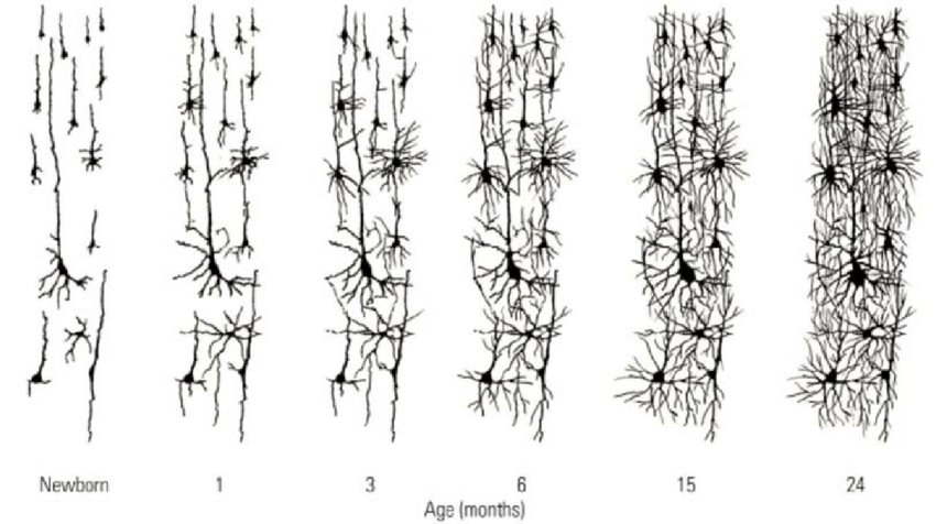 Brain Cells develop connections over the first two years