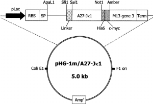 Schematic representation of the phagemid vector pHG1mA27J K 1 The | Download Scientific