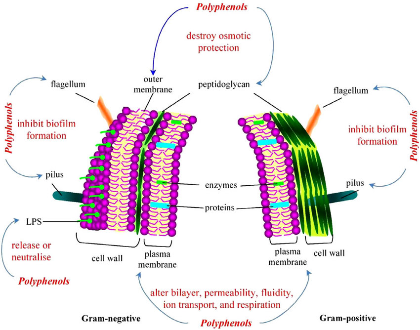 cell membrane diagram blank draw wiring diagrams plasma wall great installation of possible interactions polyphenols with components and rh researchgate net labeled model