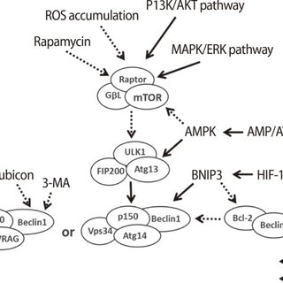 The processing of autophagy and the roles of autophagy in