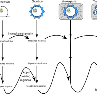 (PDF) Micromechanical properties of chondrocytes and
