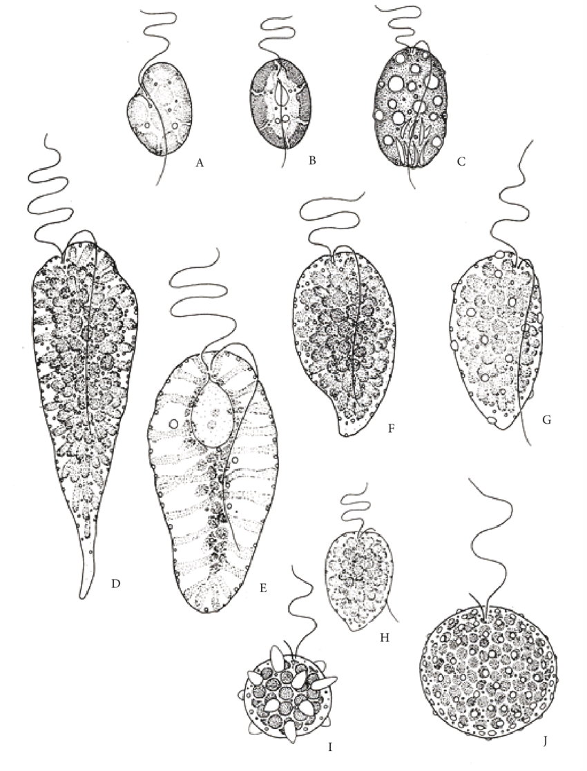 Comparison of different Raphidophyceae species (A-H