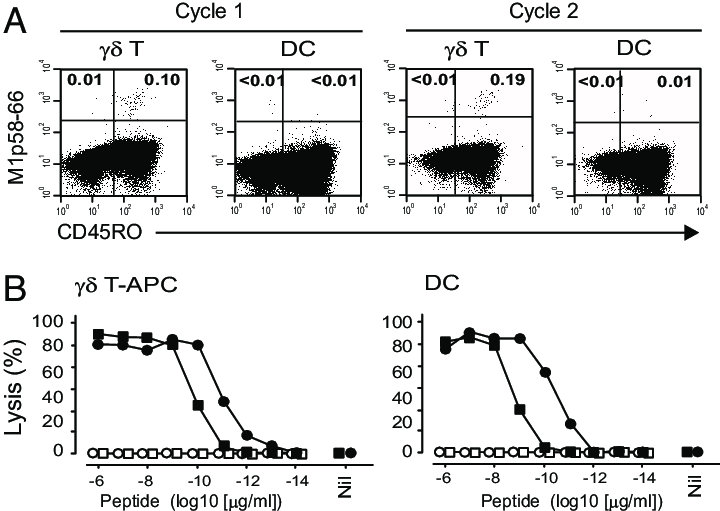Cross-presenting T-APCs induce robust primary CD8 T cell