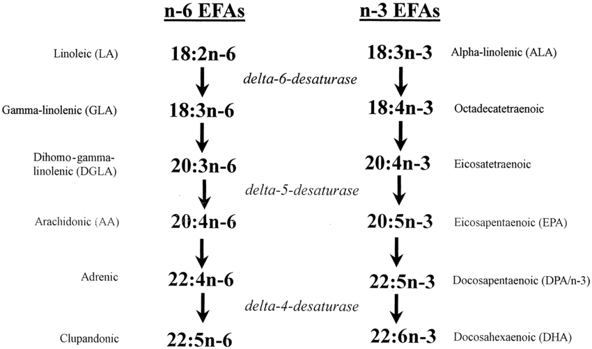 Metabolism of the essential fatty acids: linoleic and