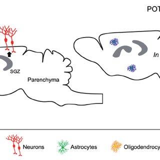- Schematic representation of adult neurogenesis in