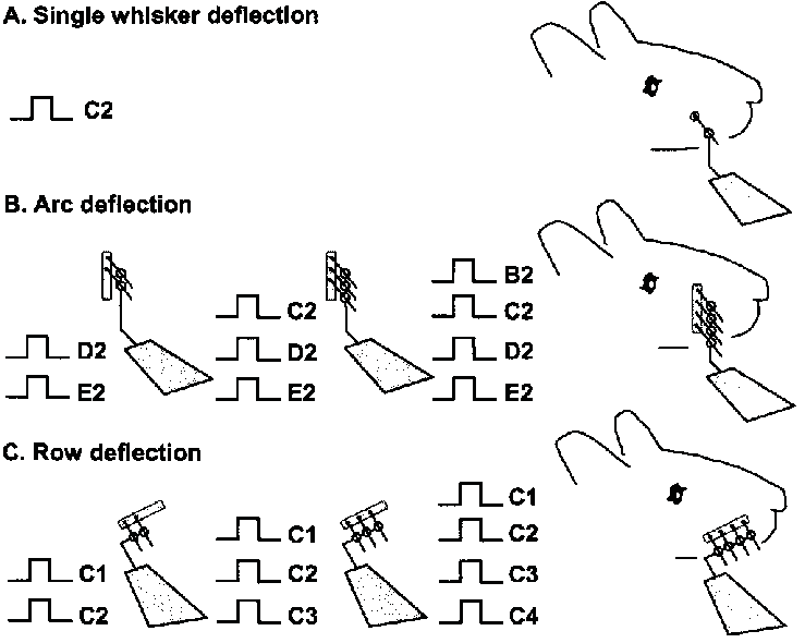 Whisker stimulation paradigm. A wire extension ending in