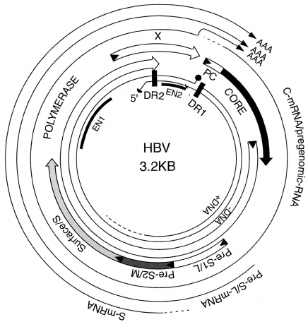 Transcriptional and translational map of HBV. The figure