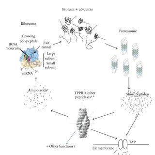 (PDF) The Enigma of Tripeptidyl-Peptidase II: Dual Roles
