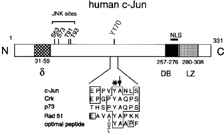 Cartoon of the human c-Jun primary structure and domain