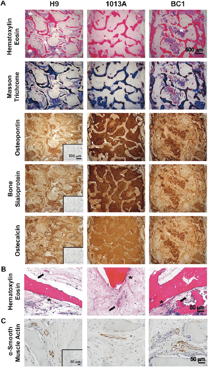 medium resolution of histological micrographs of engineered bone tissue after explantation a