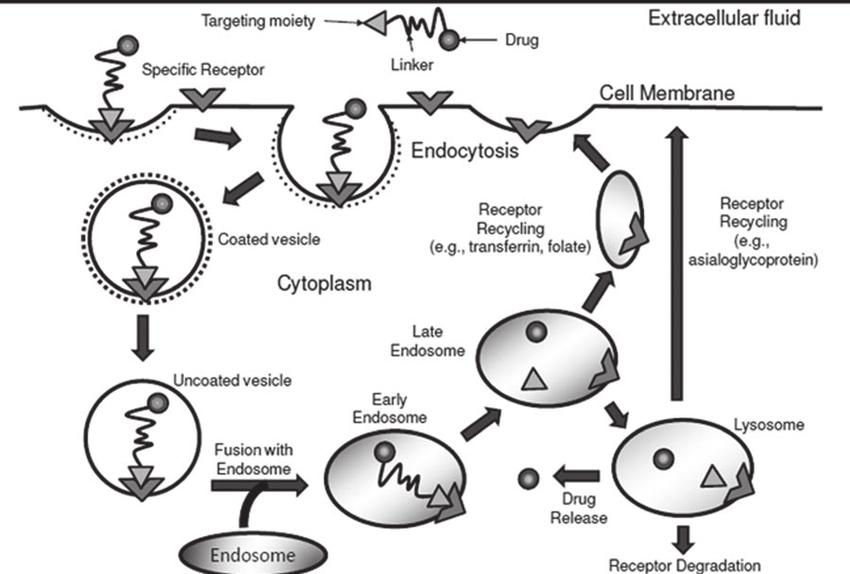 Figure 1. Schematic representation of receptor mediated