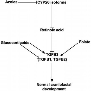 Difference in the site of estradiol production (CYP19