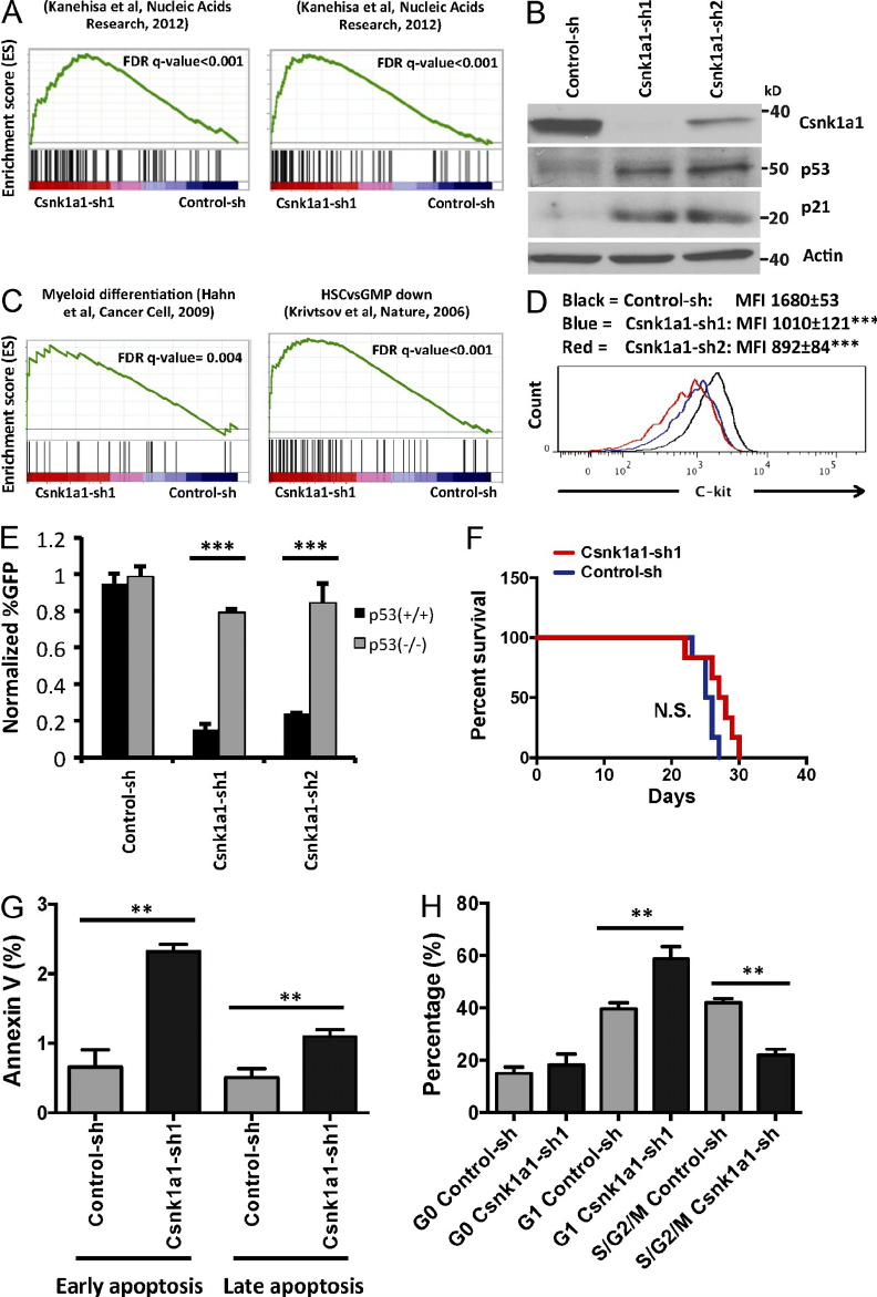 Csnk1a1 suppression activates a p53 response. (A) In
