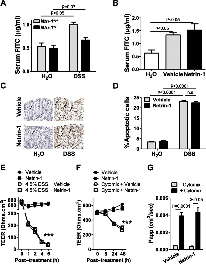Netrin-1 effects on the intestinal epithelial barrier. (A