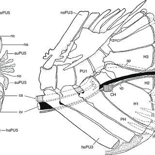 (PDF) The caudal skeleton of basal teleosts, its