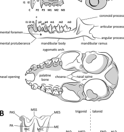 anatomy of bat cranial skeleton a lateral view of skull and hemimandible and [ 850 x 1387 Pixel ]