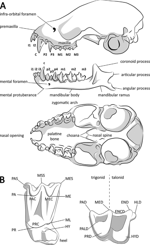 small resolution of anatomy of bat cranial skeleton a lateral view of skull and hemimandible and